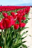 Rij van rode tulpen Stock Fotografie