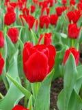 Rij van Rode Tulpen Stock Afbeeldingen