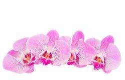 Rij van roze orchideebloemen Stock Afbeelding