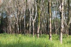 Rij van rubberbomen Royalty-vrije Stock Afbeeldingen