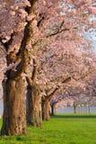 Rij van tot bloei komende kersenbomen stock afbeelding