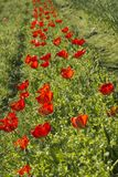 Rij van transparante rode tulpen Stock Foto