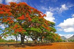 Rij van tropische vlambomen Royalty-vrije Stock Foto