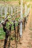 Rij van wekkende wijnstokken op wijngaard in de Westelijke Oekraïne royalty-vrije stock foto