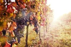 Rij van wijngaard Stock Foto's