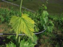 Rij van wijnstok stock afbeelding