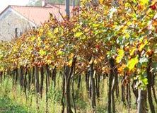 Rij van wijnstokken in het Toscaanse platteland Stock Foto