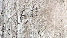 Rij van Witte Berkbomen Stock Fotografie