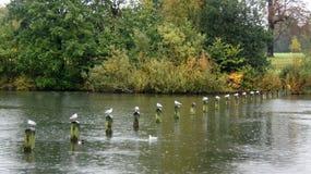 Rij van zeemeeuwen in Hyde Park in Londen Stock Foto