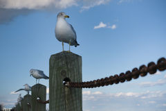 Rij van zeemeeuwen op posten met één dichtere omhooggaand. Stock Afbeeldingen