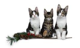 Rij van zoete zwarte gestreepte kat 3 met witte die Maine Coon-kattenkatjes op witte achtergrond wordt geïsoleerd royalty-vrije stock afbeeldingen