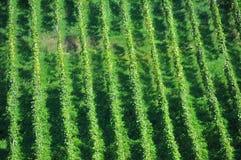 Rijen in een wijngaardmening van hierboven Stock Afbeeldingen