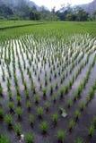 Rijen en groene rijst Royalty-vrije Stock Foto