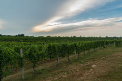 Rijen op wijnstokken op gebied Royalty-vrije Stock Afbeeldingen
