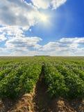 Rijen van aardappels op een aardappellandbouwbedrijf stock afbeeldingen