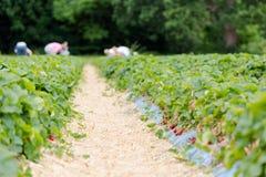 Rijen van aardbeienstruiken op landbouw organisch landbouwbedrijf Stock Fotografie