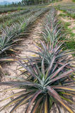 Rijen van ananasfruit (ananascomosus) Stock Afbeelding