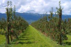 Rijen van appelbomen Stock Afbeelding