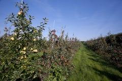 Rijen van appelbomen in een boomgaard Royalty-vrije Stock Afbeeldingen