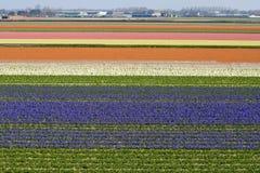 Rijen van Bloemen in Holland stock fotografie