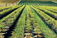 Rijen van bomen bij landbouwbedrijf stock afbeelding