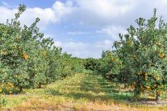 Rijen van bomen met rijpe mandarijnen tegen een blauwe hemel met wolken stock afbeelding