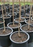 Rijen van Bomen in Zwarte Potten Royalty-vrije Stock Afbeeldingen
