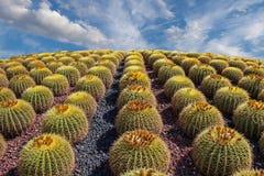 Rijen van Cactussen op Heuvel jpg Royalty-vrije Stock Afbeeldingen