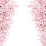Rijen van Cherry Blossom-bomen Royalty-vrije Stock Foto