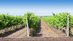 Rijen van de wijngaard stock videobeelden