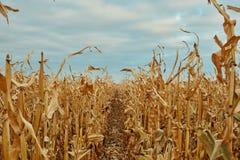 Rijen van droog te oogsten maïswachten Stock Afbeeldingen
