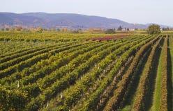Rijen van druiven stock afbeelding