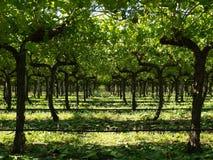 Rijen van druivenbomen Stock Foto