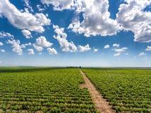 Rijen van druivenwerven en van wijnwerven rode wijnaanplanting Royalty-vrije Stock Afbeelding