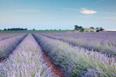 Rijen van Franse lavendel stock afbeeldingen