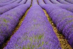 Rijen van Gecultiveerde Lavendel Stock Foto
