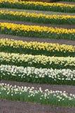 Rijen van Gele narcissen Royalty-vrije Stock Afbeeldingen
