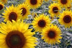Rijen van gele zonnebloemen royalty-vrije stock afbeelding