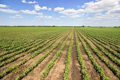 Rijen van groene sojabonen tegen de blauwe hemel De rijen van sojaboongebieden Royalty-vrije Stock Fotografie