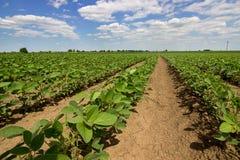 Rijen van groene sojabonen tegen de blauwe hemel De rijen van sojaboongebieden Stock Foto's