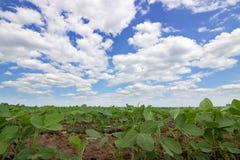 Rijen van groene sojabonen tegen de blauwe hemel De rijen van sojaboongebieden Stock Afbeelding