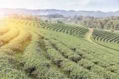 Rijen van groene terrasvormige de theeaanplanting van Choui Fong op hoogland Stock Afbeeldingen