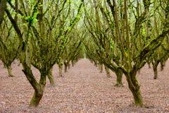 Rijen van hazelnootbomen in een bosje Royalty-vrije Stock Foto's