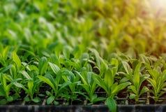 Rijen van ingemaakte zaailingen en jonge planten royalty-vrije stock foto