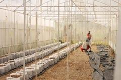 Rijen van jonge geraniuminstallaties in een serre Udonthani Royalty-vrije Stock Afbeelding
