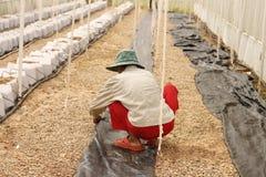 Rijen van jonge geraniuminstallaties in een serre Udonthani Stock Afbeeldingen