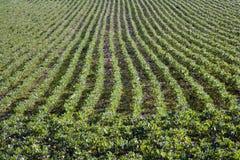 Rijen van jonge tuinbooninstallaties Stock Fotografie