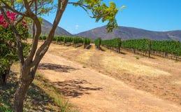 Rijen van jonge wijnstokken op een hete de zomer` s dag Stock Afbeeldingen