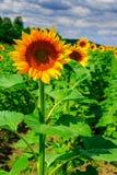 Rijen van jonge zonnebloemenverticaal Royalty-vrije Stock Foto's