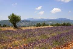 Rijen van Lavendel Stock Foto
